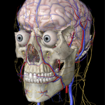 【Essential Anatomy 2】のつづき(iPhone&iPadアプリ)